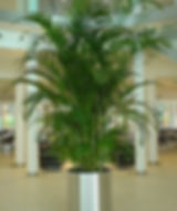 Areca Palm_edited_edited.jpg