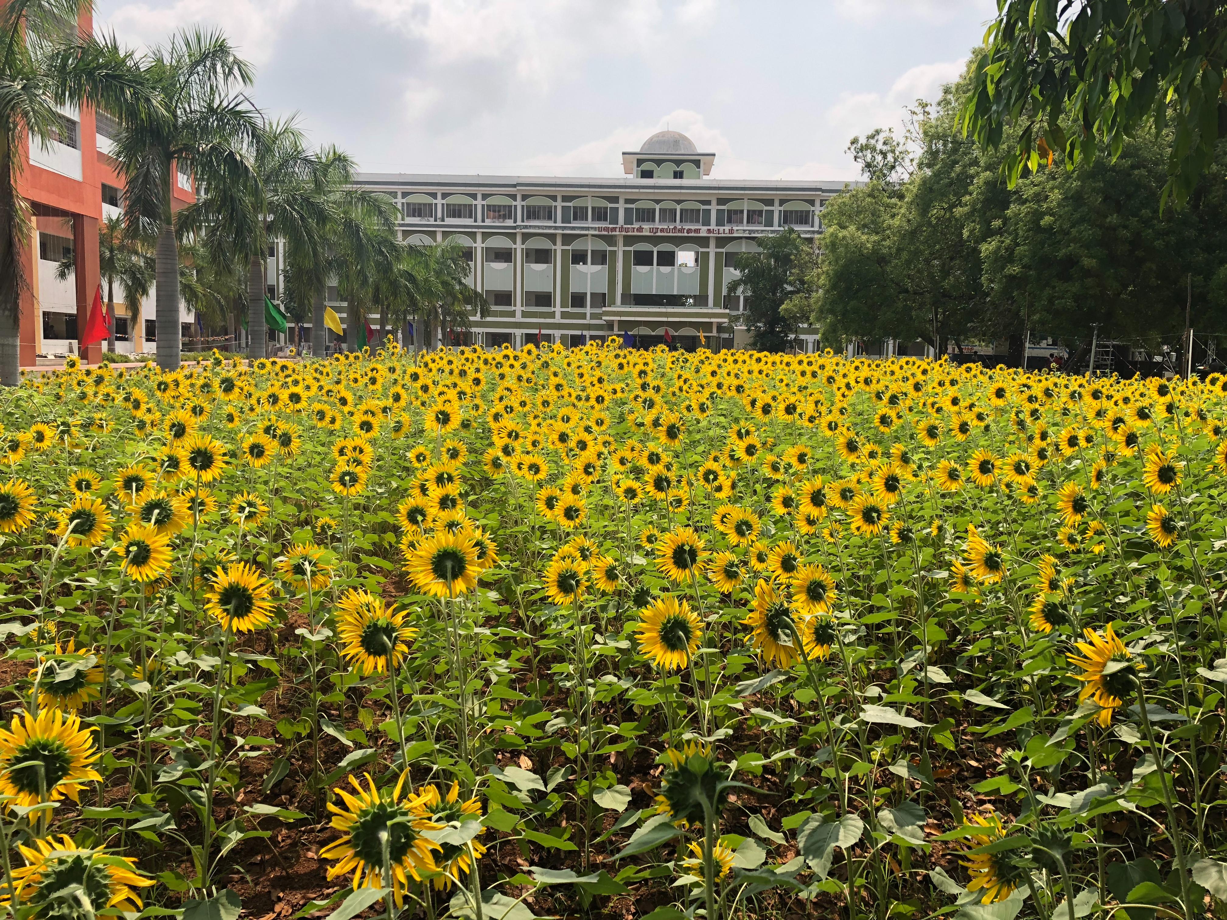Dhivya College Sunflower Garden
