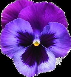 violet3_edited.png