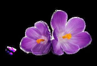 violet_transparent_edited_edited.png