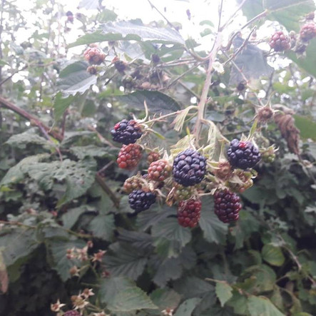 Brambles appearing