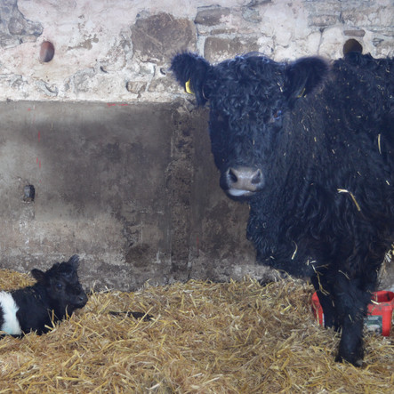 Important new arrival to our Belted Galloway herd.