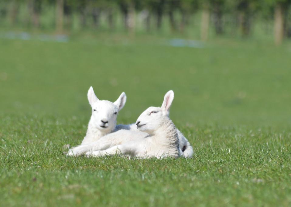 North Country Cheviot Lambs.