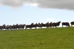 Cheviot Mules
