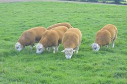 Texels Shearlings