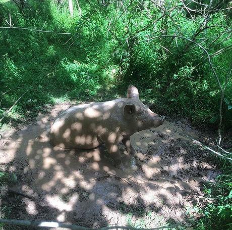 Dappled pig in a wallow