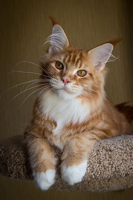 кот мейнн-кун Allywood Quidditch