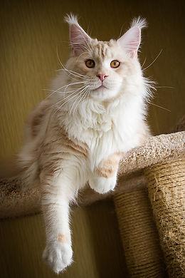 кот мейн-кун купить