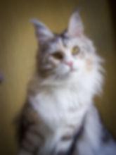 Zaznoba of TIKASI, котёнок мейн-кун