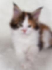 котёнок мейн-кун, купить