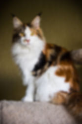 TIKASI Pulcherrima котята мейн-кун