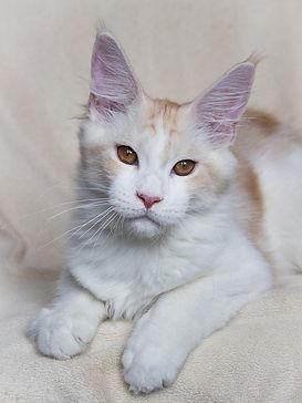 котёнок мейн-кун, купить котёнка, коша мейн-кун, мейн-кун питомник