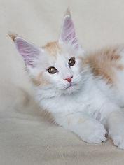 котёнок мейн-кун, купить котёка, питомник, тикаси