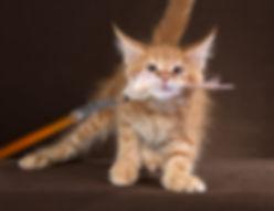 питомник кошек мейн-кун