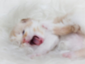 котёнок мейн-кун купить