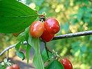 220px-Kornelfrucht.jpg