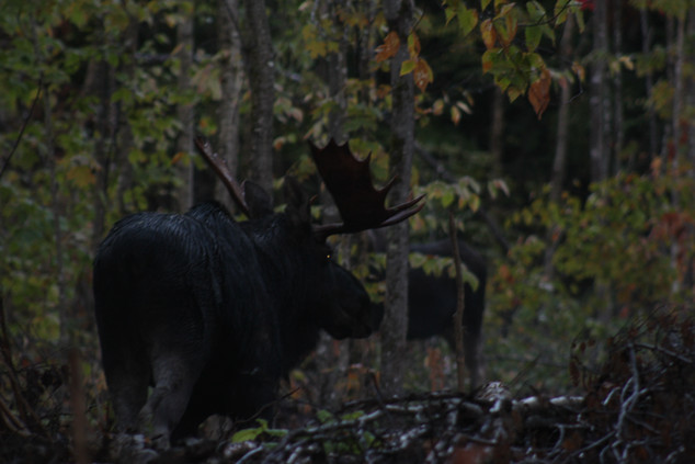 bull moose with his cow