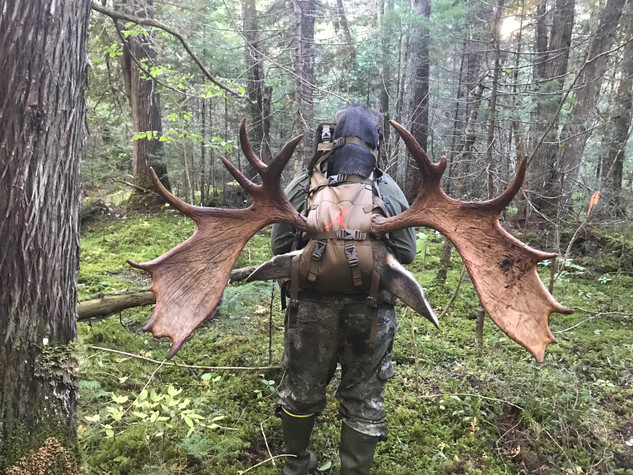 Packing out a moose