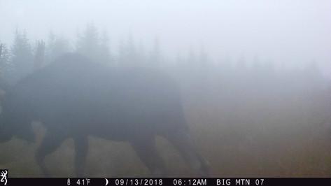 trail cam moose
