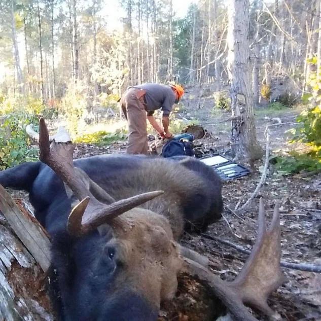 pauls moose