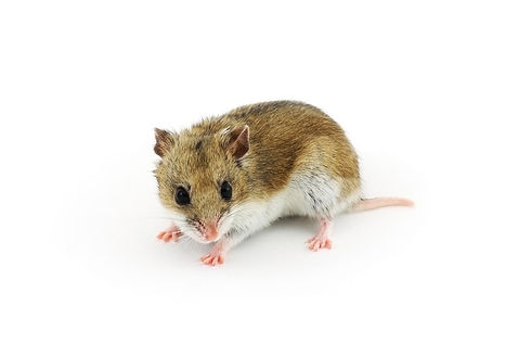 chinese-hamster-3.jpg