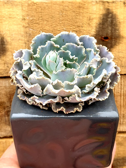 Coastal Succulents, Cacti & Alpines 'Curly Pearl' Echeveria