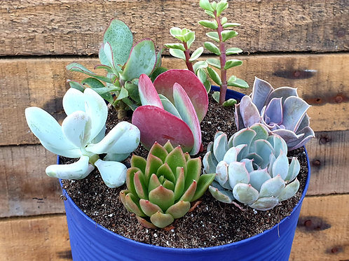 Coastal Succulents, Cacti & Alpines XL Succulent Planter with 7 plants
