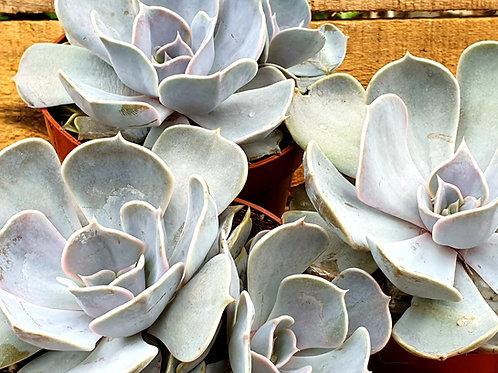 Coastal Succulents, Cacti & Alpines 'Runyonni' Echeveria