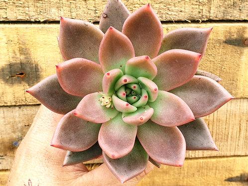 Coastal Succulents, Cacti & Alpines 'Taurus'  Echeveria