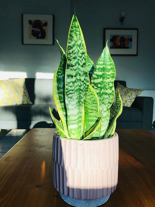 The Greenhouse Somerset Sansevieria Trifasciata aka Snake plant