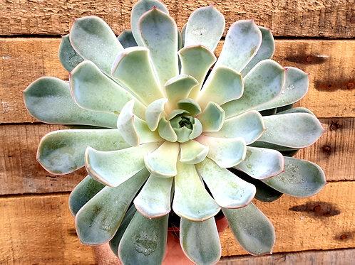 Coastal Succulents, Cacti & Alpines  'Jasiri' Echeveria