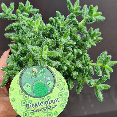 Coastal Succulents, Cacti & Alpines Pickle Plants