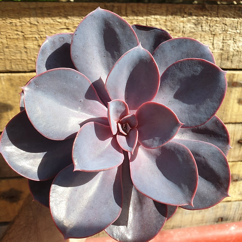 Coastal Succulents, Cacti & Alpines 'Purple Pearl' Echeveria