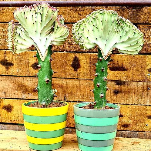 Coastal Succulents, Cacti & Alpines Euphorbia latea