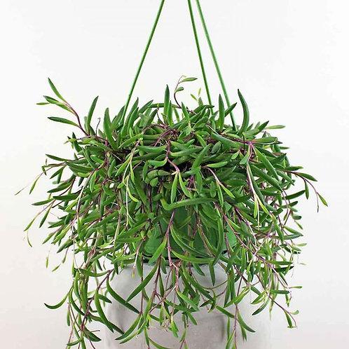 Coastal Succulents, Cacti & Alpines String of Banana's 'Purple Flush'