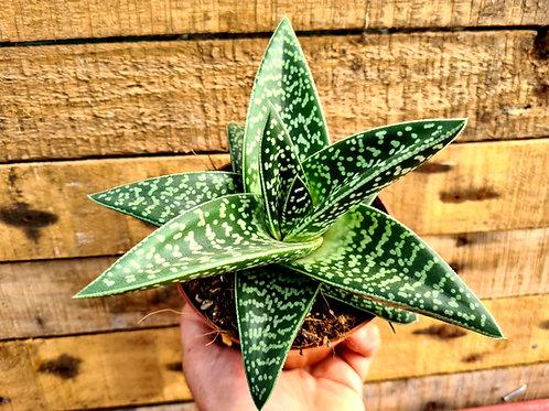 Coastal Succulents, Cacti & Alpines Aloe Variegata 'Magic