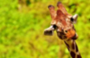 giraffe-2469322_1920.jpg