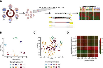 Transcriptome analyses in single and populations of P.falciparum infected erythrocytes