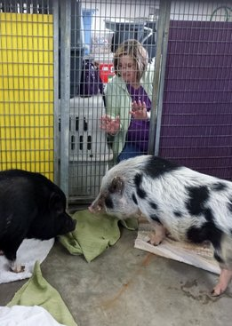 Pot bellied pigs enjoying Reiki