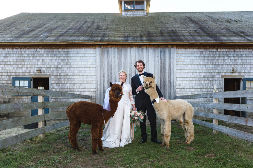 A bride and groom pose with two alpaca at Island Alpaca Company on Martha's Vineyard photo by David Welch Photography