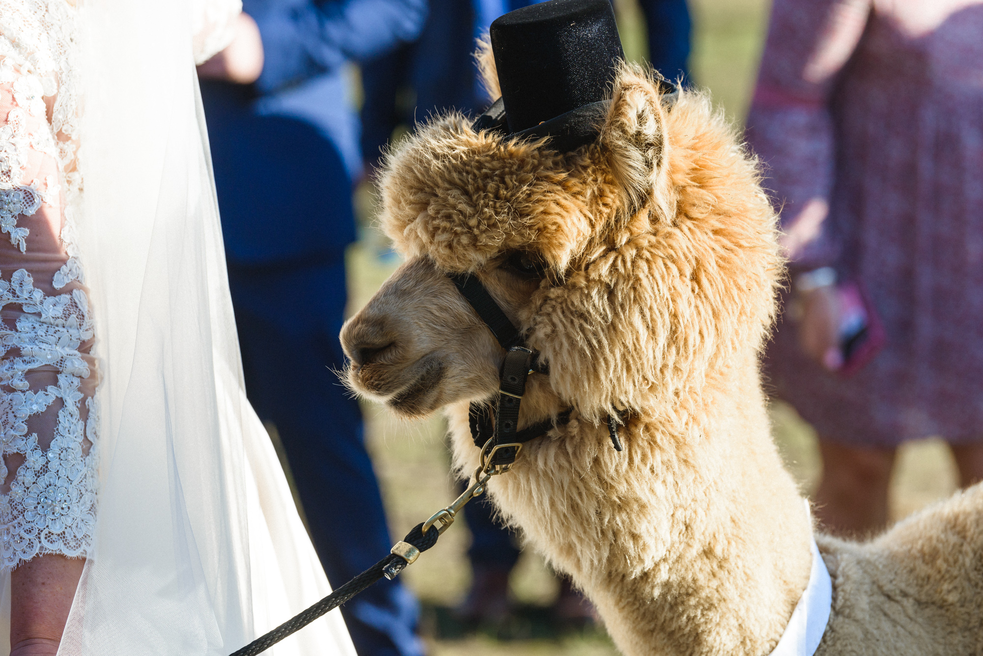 A fluffy alpaca at Island Alpaca Company photo by David Welch Photography