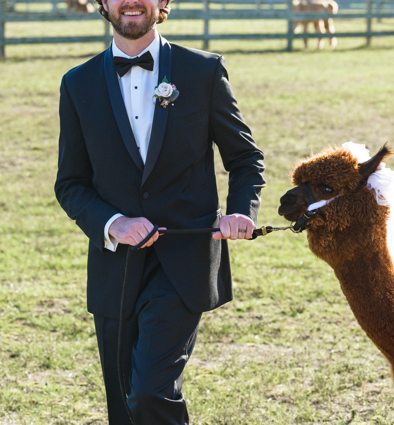 A groom escorts an alpaca at Island Alpaca Company photo by David Welch Photography