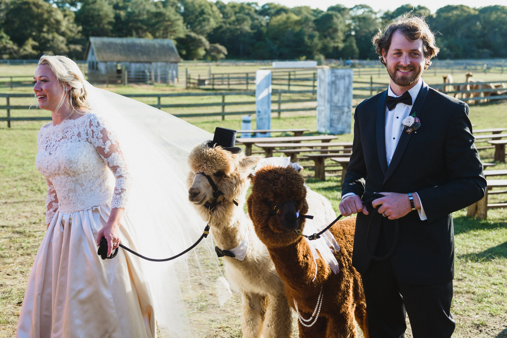 A bride and groom escort alpaca at Island Alpaca Company photo by David Welch Photography