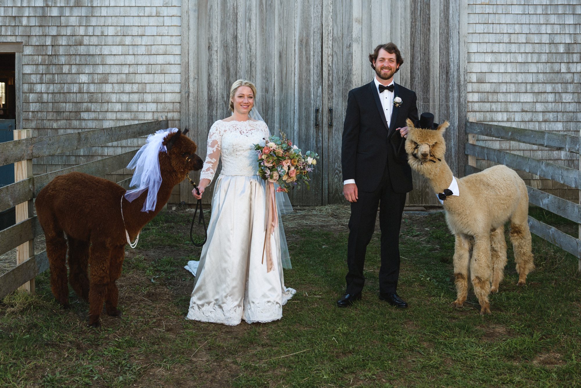 A bride and groom with a pair of alpaca at Island Alpaca Company photo by David Welch Photography