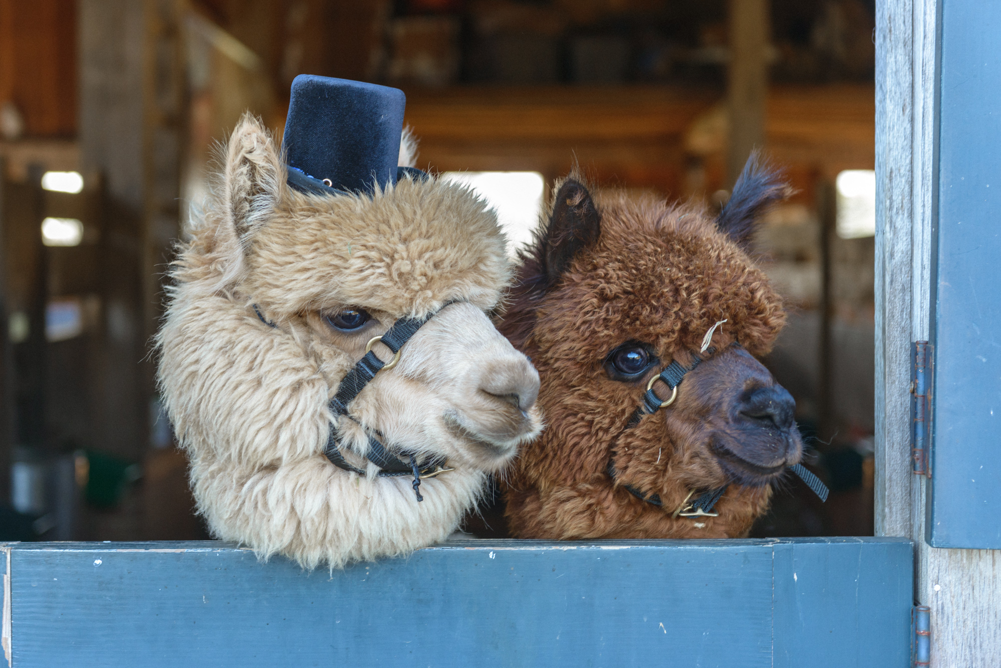 A pair of alpaca dressed for a wedding at Island Alpaca Company photo by David Welch Photography