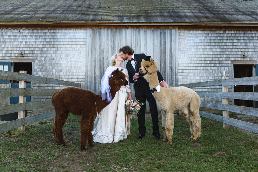 A bride and groom pose with two wedding alpaca at Island Alpaca Company on Martha's Vineyard photo by David Welch Photography
