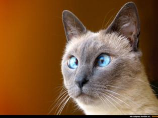 Per què són estràbics els gats siamesos? Explicació i llegenda