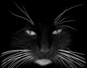 Els bigotis dels gats