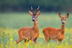 Deer Culling at RHS - Six local Conservative Councillors response.