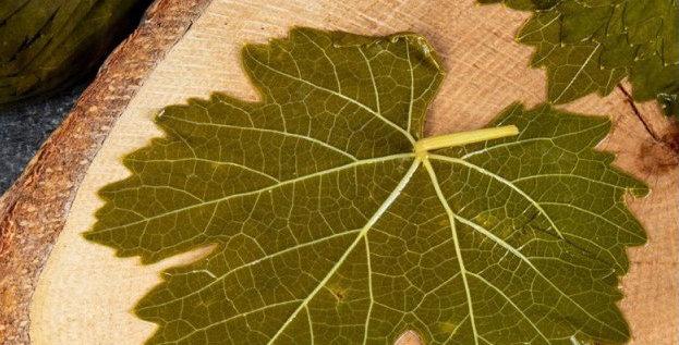 Tokat Erbaa bağ yaprağı